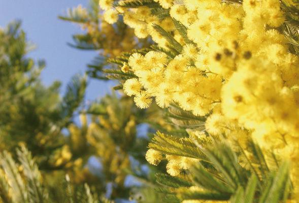 Fête du Mimosa Dimanche 3 février
