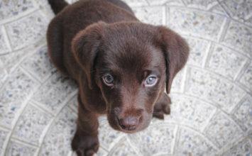 Les chiens guides d'aveugles de Biot recherchent familles d'accueil