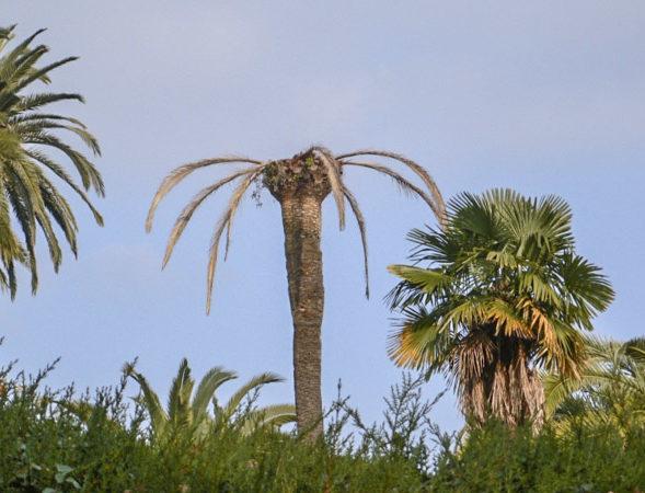Sauvegardez vos palmiers