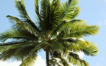 Traitement contre le charançon rouge : bénéficier de tarifs préférentiels grâce à Palmier Sud